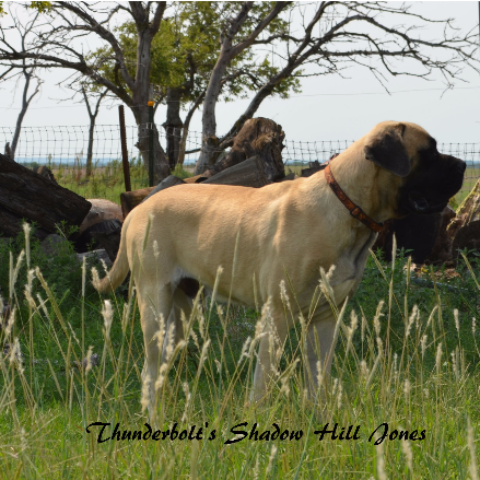 Thunderbolt Mastiffs Kansas