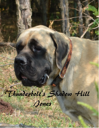 Thunderbolt English Mastiffs
